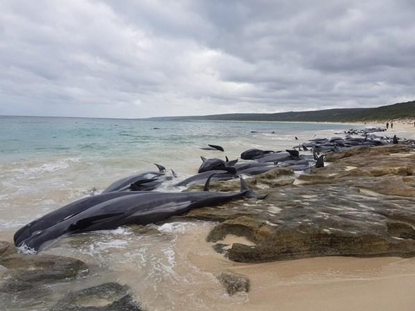 Cerca de 150 baleias encalham na Austrália e correm perigo
